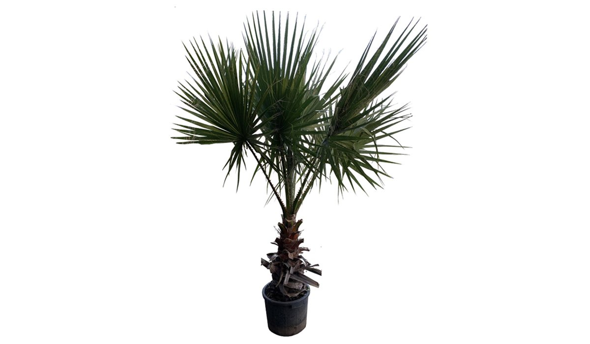 Palma Washingtonia